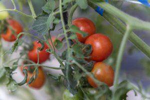 向陽の里のおいしいミニトマト